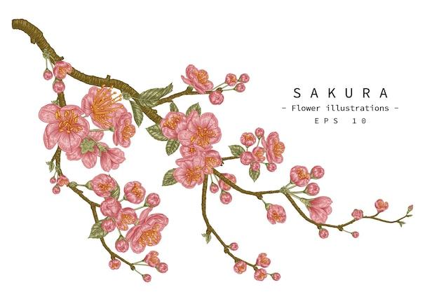 Handgezeichnete botanische illustrationen der kirschblütenblume.