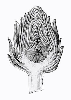 Handgezeichnete halbgeschnittene artischocke