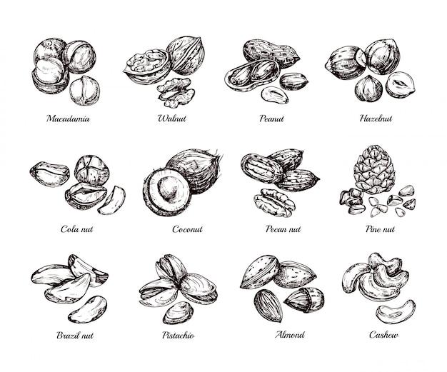 Handgezeichnete nüsse und samen. kritzeln sie skizzenerdnuss, haselnuss und acajoubaum lokalisierten satz