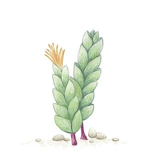 Handgezeichnete skizze der corpuscularia lehmannii sukkulentenpflanze