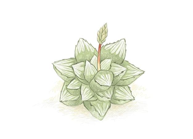 Handgezeichnete skizze der sukkulente haworthia mutica