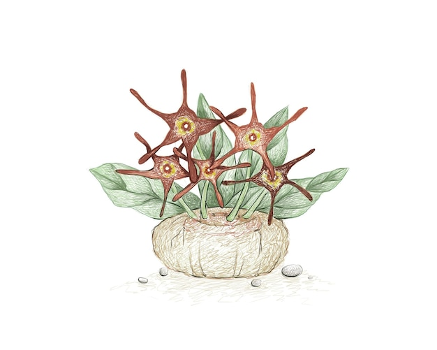 Handgezeichnete skizze von brachystelma barbarea sukkulente