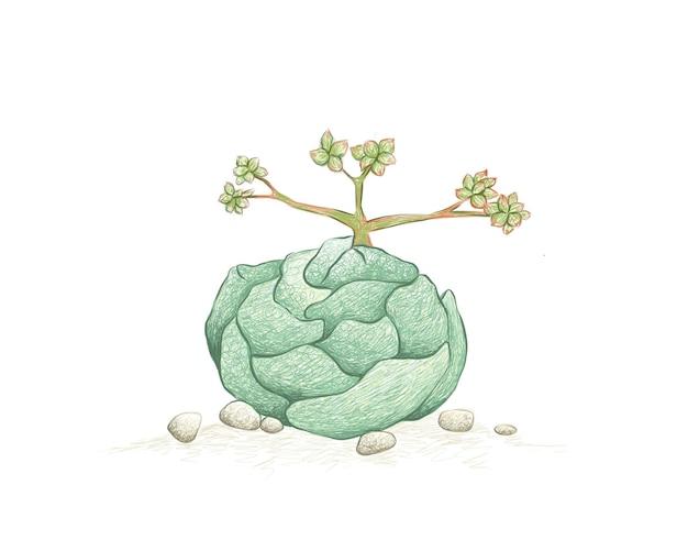 Handgezeichnete skizze von crassula alstonii sukkulenten pflanze