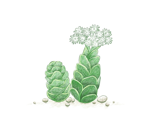 Handgezeichnete skizze von crassula barklyi sukkulenten pflanze
