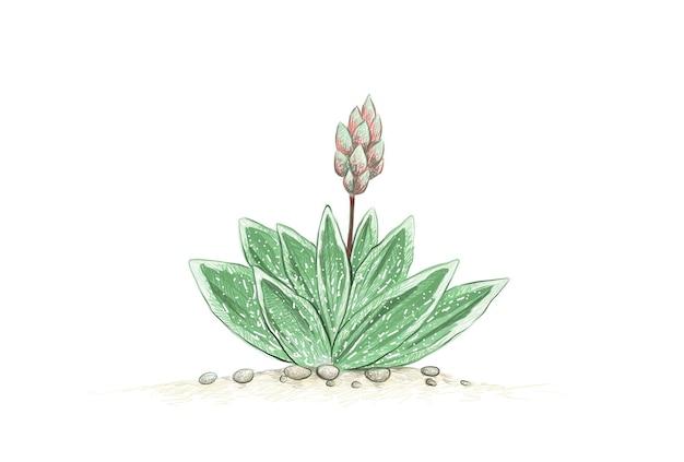Handgezeichnete skizze von gasteraloe oder grünem eis-sukkulenten