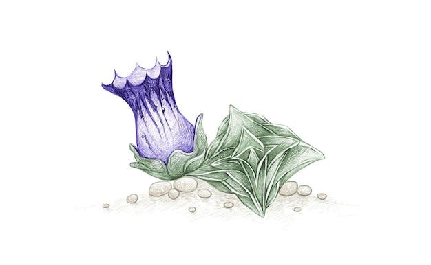 Handgezeichnete skizze von gentiana urnula sukkulente