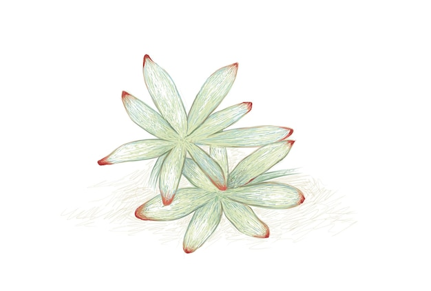 Handgezeichnete skizze von graptosedum oder darley sunshine succulent