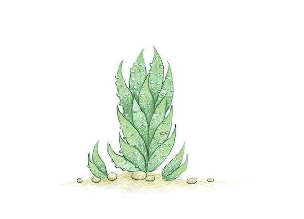 Handgezeichnete skizze von haworthia reinwardtii sukkulente
