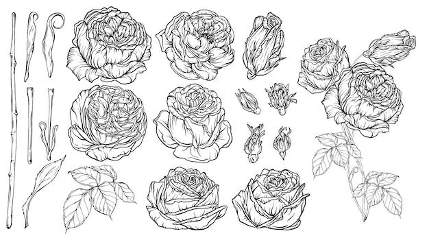 Handgezeichnetes blumenset, eine sammlung von rosen
