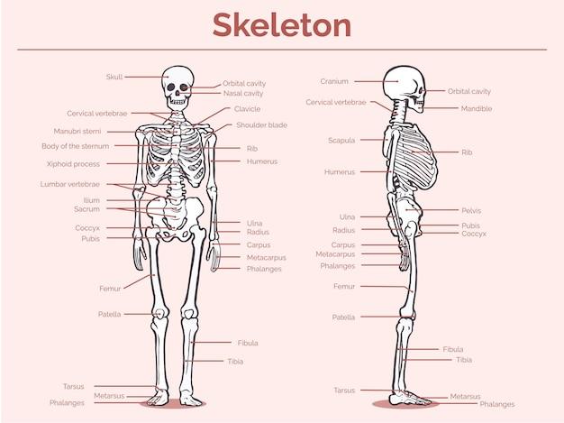 Handgezeichnetes einfaches skelettanatomiediagramm