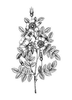 Handskizzierte burnet-rose-illustration. traditionelle pflanze von schottland. vintage sommerblumenzeichnung. botanische elemente im gravierten stil. skizze der hundsrose