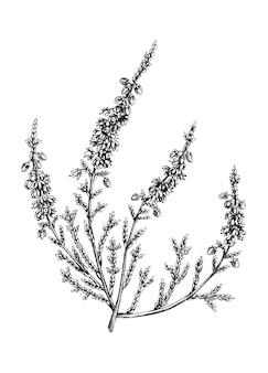 Handskizzierte heideillustration. vintage sommerblumenzeichnung. traditionelle pflanze von schottland. botanische elemente im gravierten stil. heide blüht.