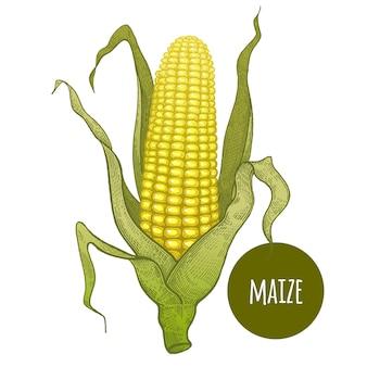 Handzeichnung von mais auf einem weißen hintergrund.