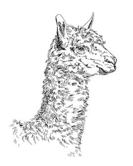 Handzeichnungskopf des lamas lokalisiert auf weißem hintergrund. vektorillustration