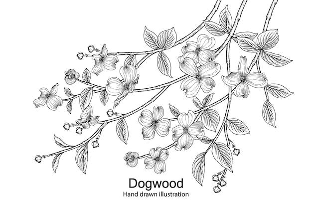 Hart gezeichnete botanische illustrationen der hartriegelblume.
