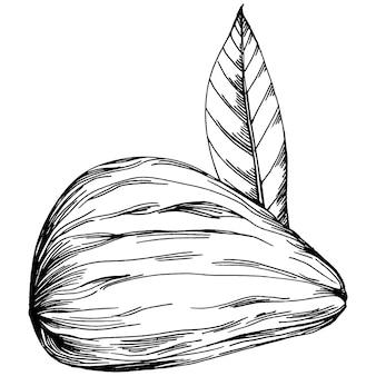 Haselnuss, haselnuss, kobnuss handgezeichnete vektor-illustration isoliert auf weißem hintergrund. farmprodukt im retro-stil für restaurantmenü, marktetikett, logo, emblem und küchendesign. dekoration für lebensmittel.