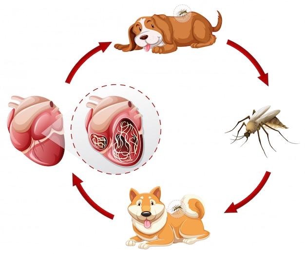 Heartworm-lebenszyklus-diagramm