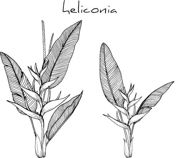 Heliconia blumenzeichnungen