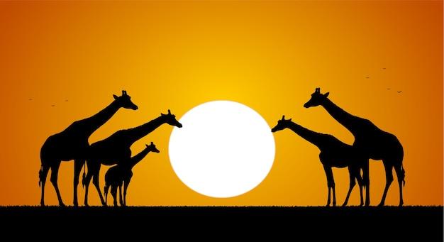 Herde von giraffen gegen die untergehende sonne. silhouette