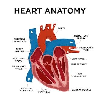 Herz-anatomie-diagramm menschliche herzstruktur beschriftete herzhälfte im doodle-stil teil des herzens