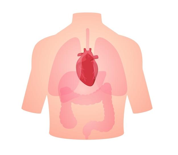Herz-kreislauf-herz des menschlichen anatomieorgans