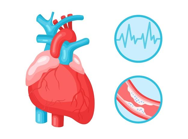 Herz menschliches anatomisches und kardiovaskuläres system, pulskardiogramm, infografik der fettarterien isoliert auf weißem hintergrund. flache vektorillustration. design für medizin, behandlung, gesundheitskonzept
