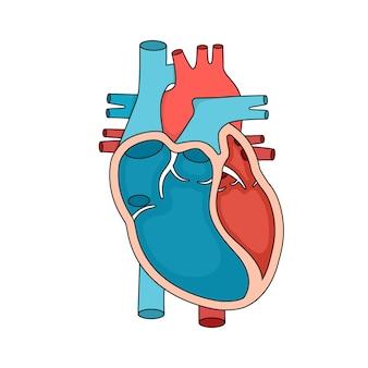 Herzanatomie nahaufnahme menschliches herz querschnitt abbildung