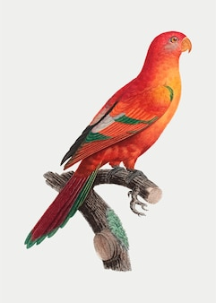 Hochroter glänzender papagei