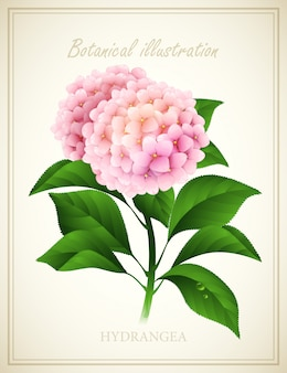 Hortensie. botanische vektorillustration