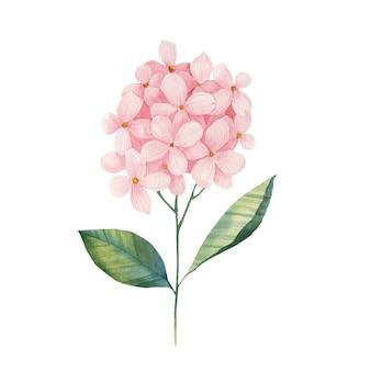 Hortensienzweig-aquarellillustration auf weißem hintergrund