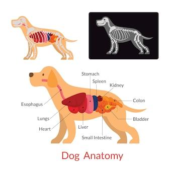 Hundeanatomie innere organe, skelett, röntgen