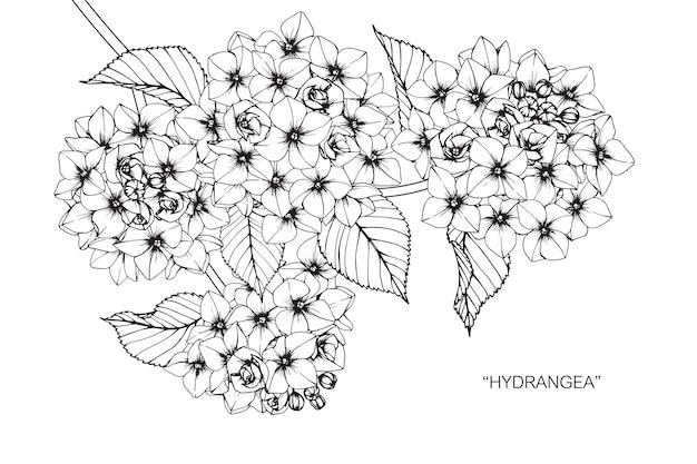 Hydrangeablumenzeichnungsillustration