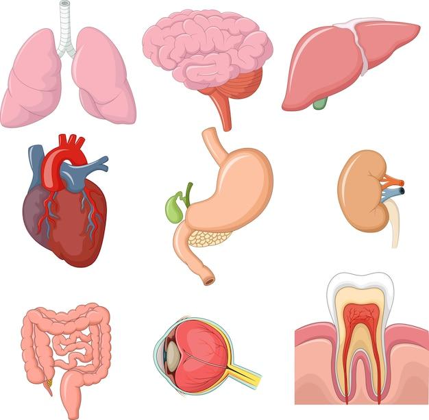 Illustration der anatomie der inneren organe