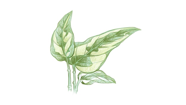 Illustration der goldenen pothos- oder efeu-arumpflanze