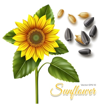 Illustration der sonnenblume und der schwarzen samen