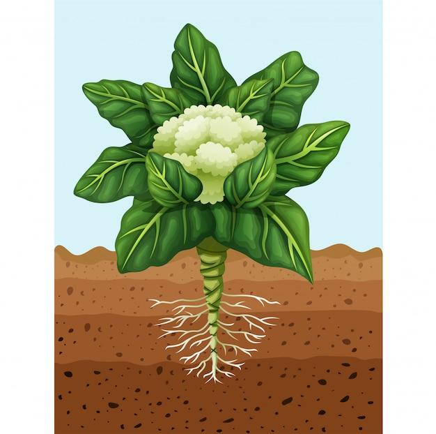 Illustration des blumenkohls pflanzend im boden
