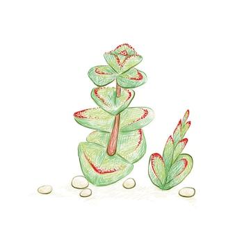 Illustration handgezeichnete skizze von crassula marnieriana jade halskette chinesische pagode oder wurmpflanze