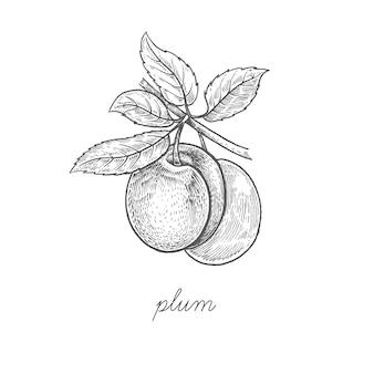 Illustration von pflaumenfrüchten.