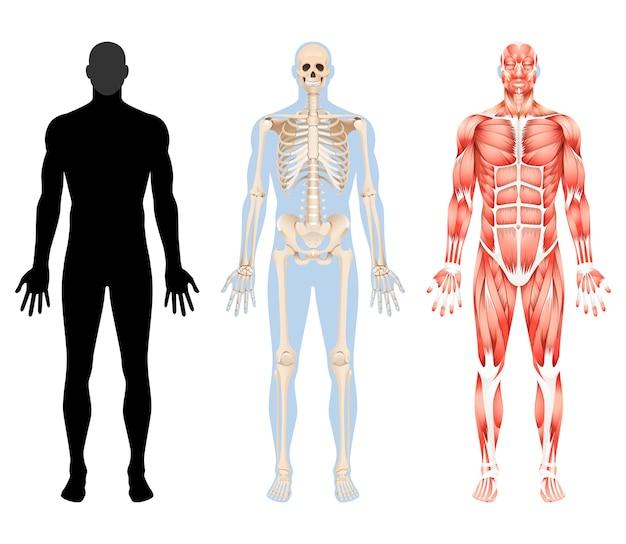 Illustrationen des menschlichen körperskeletts und des muskelsystems