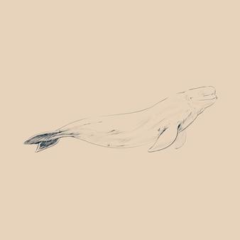 Illustrationszeichnungsgerüst des belugawals