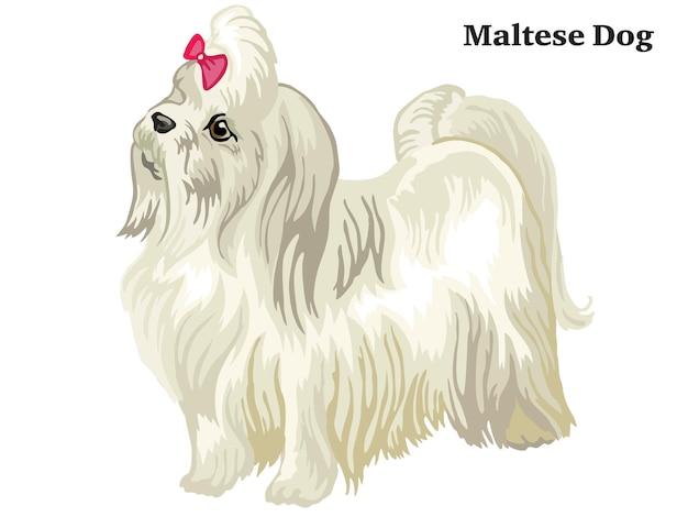 Im profil stehend maltesischer hund. vektor bunte isolierte illustration auf weißem hintergrund