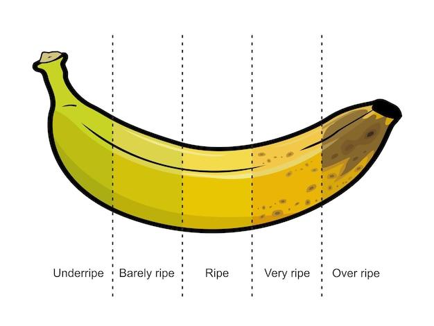 Infografik der bananenreife