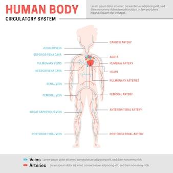Infografik-vorlage für das kreislaufsystem