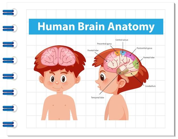 Informationsplakat des menschlichen gehirndiagramms