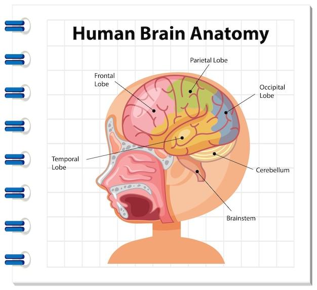 Informationsposter des diagramms des menschlichen gehirns