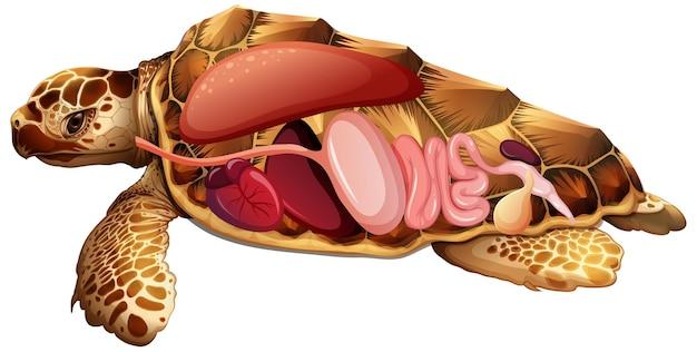 Innere anatomie der schildkröte mit organen
