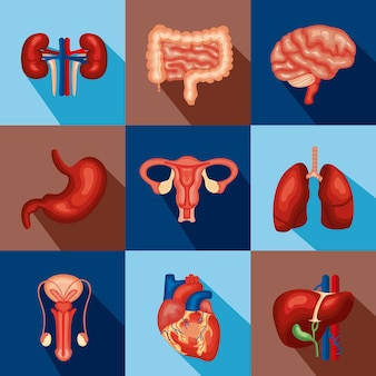 Innere menschliche organe gesetzt