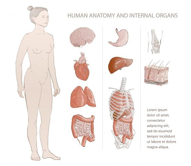 Innere menschliche organe