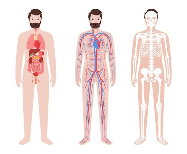 Innere organe, arterielles und venöses kreislaufsystem. skelett, gelenke und knochen im menschlichen körper
