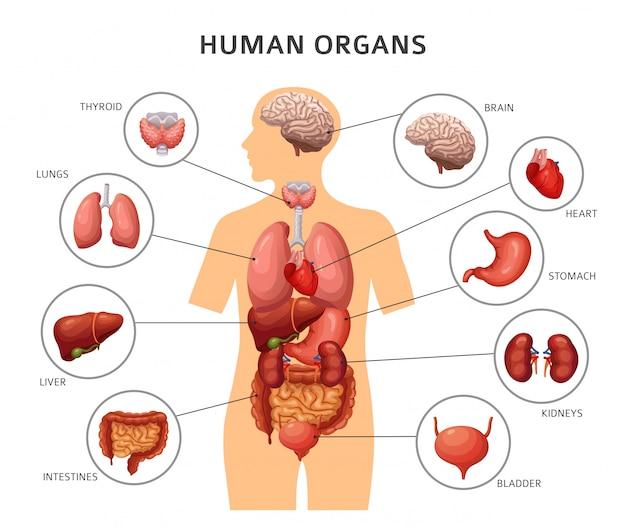 Innere organe des menschlichen körpers